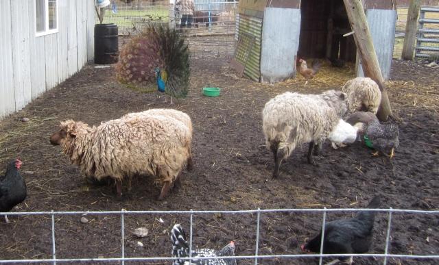 sheep-pen-4