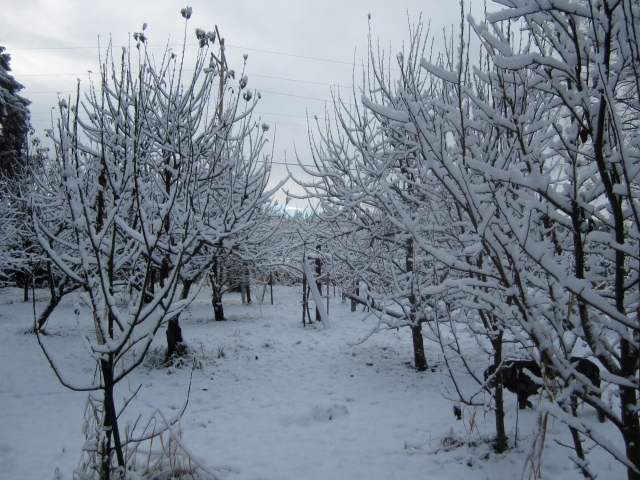 snowy-orchard