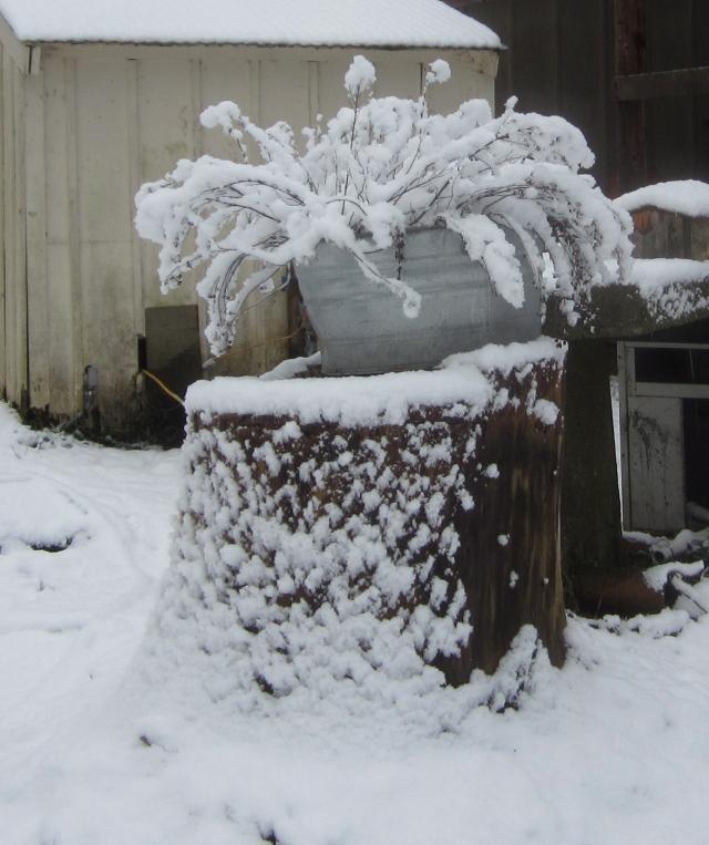 snowy-oregano