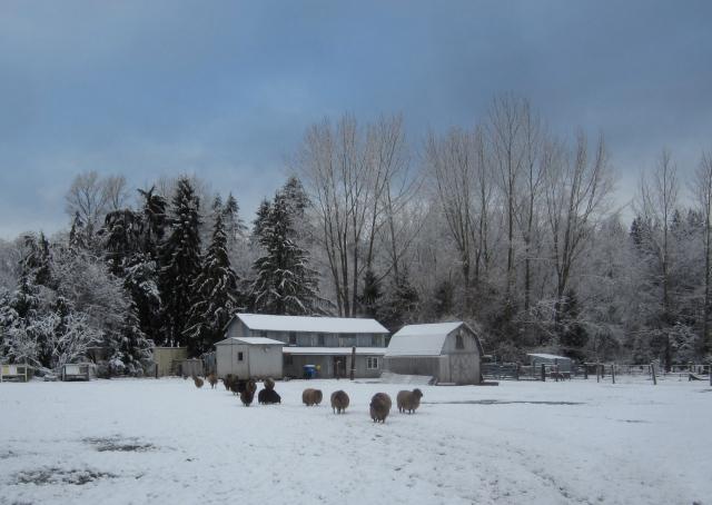 snowy-sheep-and-barns
