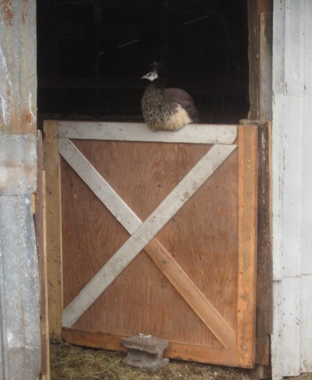 peahen-on-lower-barn-pen-door