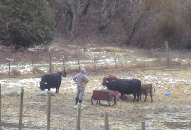 tom-with-cattle