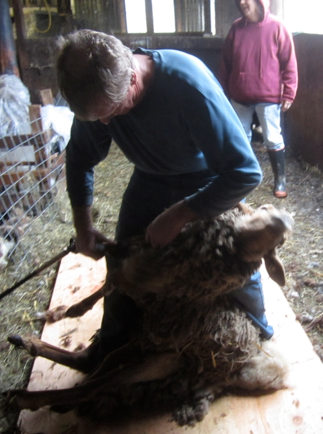 Jethro being sheared