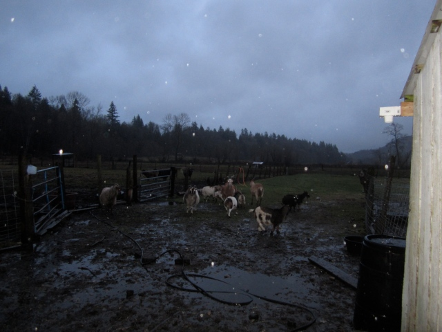 scared-goats-in-rain