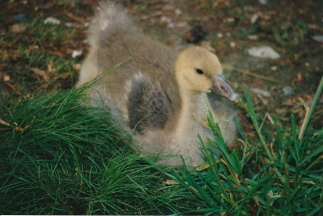 gosling with feathers