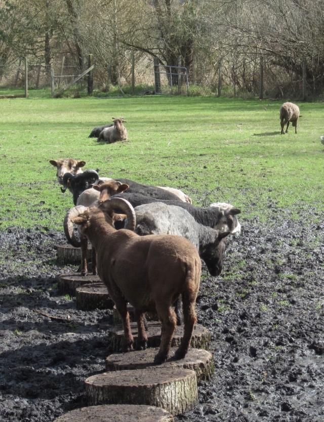 sheep on cottonwood rounds