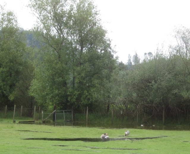 ducks and geese swimming in pasture