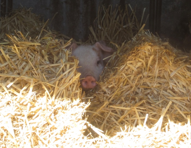 piglet in the straw
