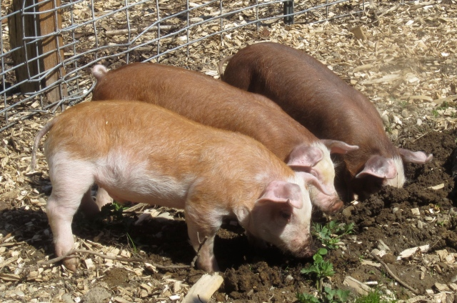piglets rooting