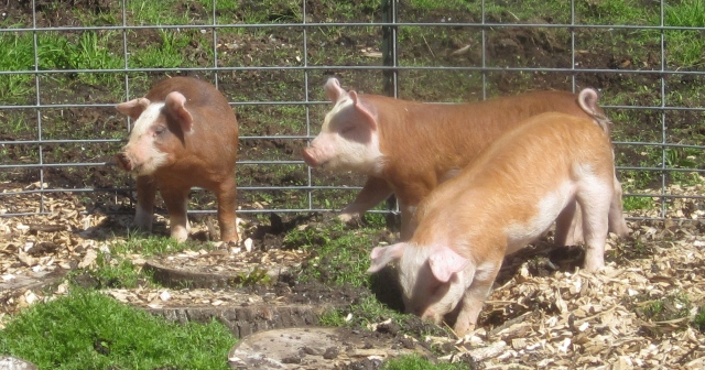 three piglets left side