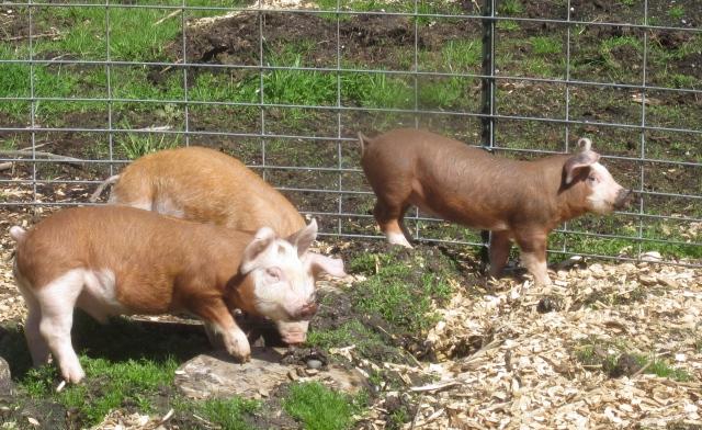 three piglets right side