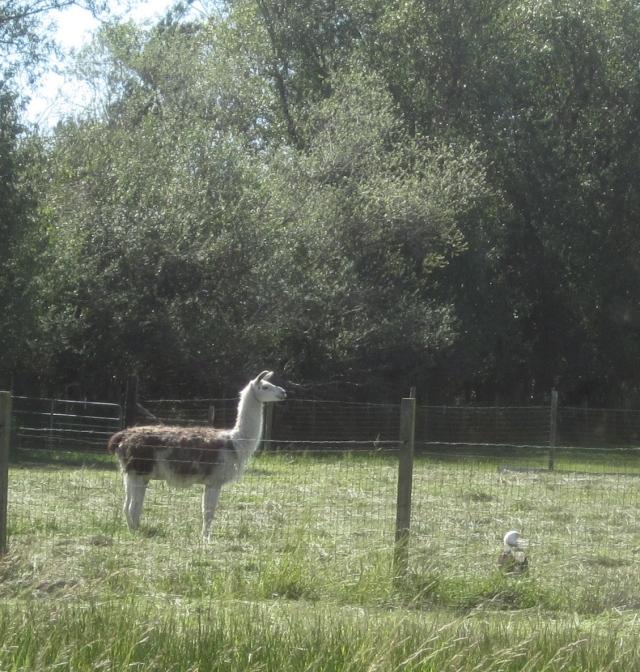 llama and eagle
