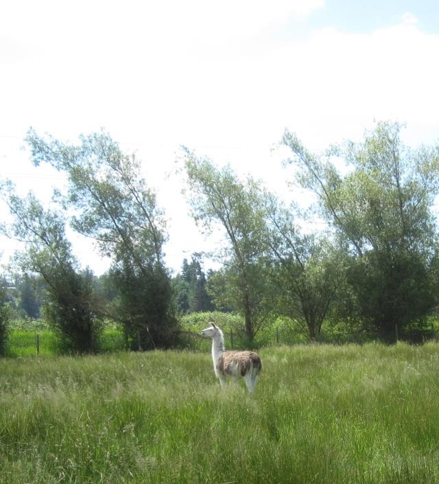 walker in tall grass