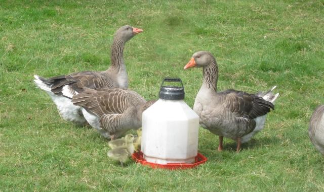 goslings drinking