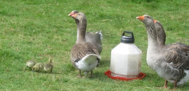 goslings_2
