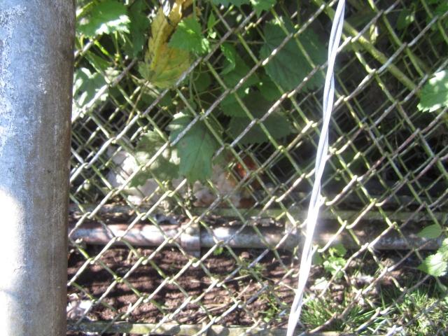 Hen nesting behind gate