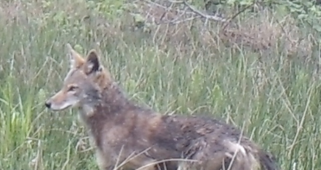 050717 coyote