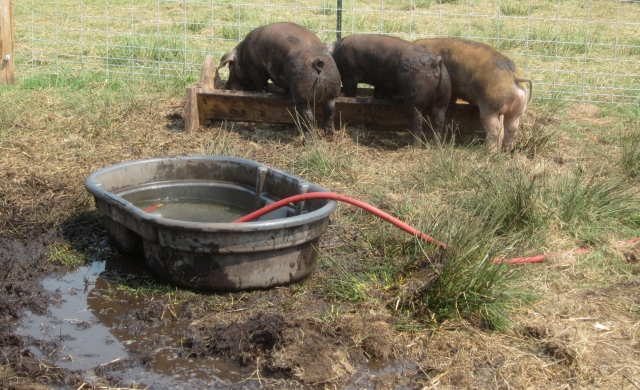 muddy hogs and their wallow