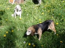 beagles 041716