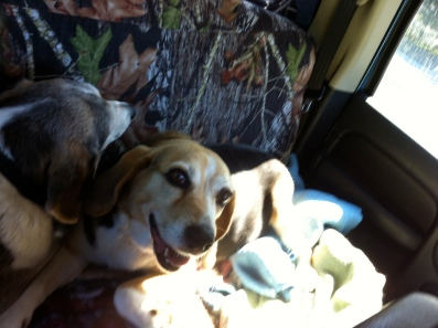 reunited with beagles driving home 061014