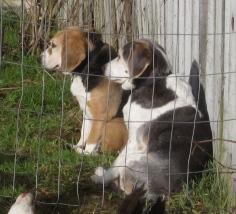 sunny beagles 012615