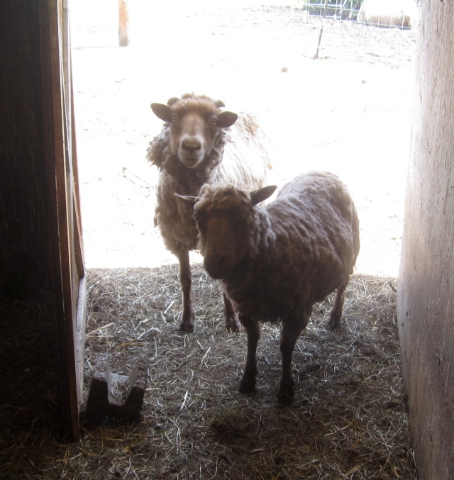 sheared Hansel and Lily