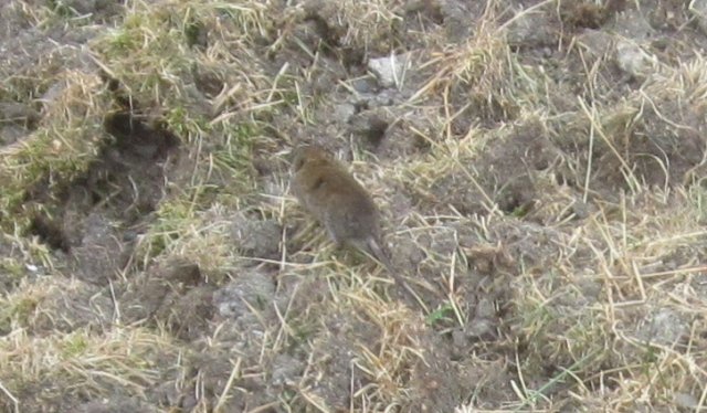field rodent