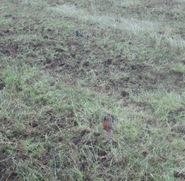 robin and blackbird