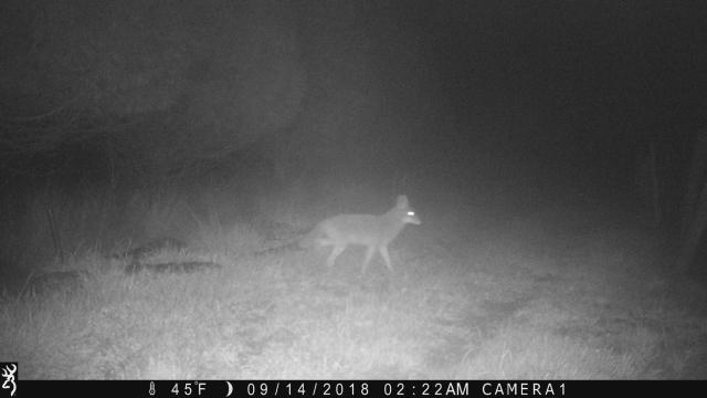 coyote 0914