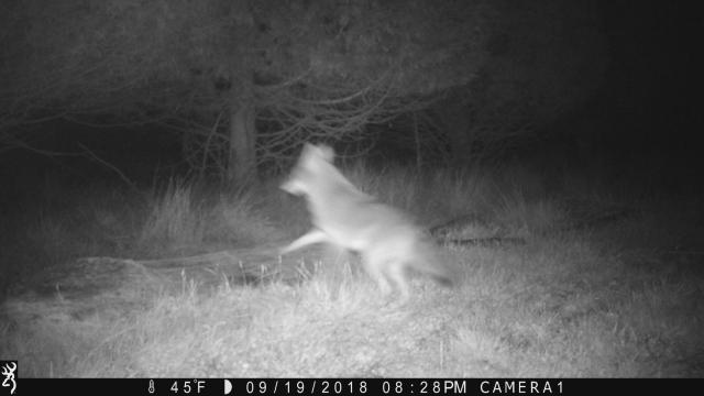coyote 0919