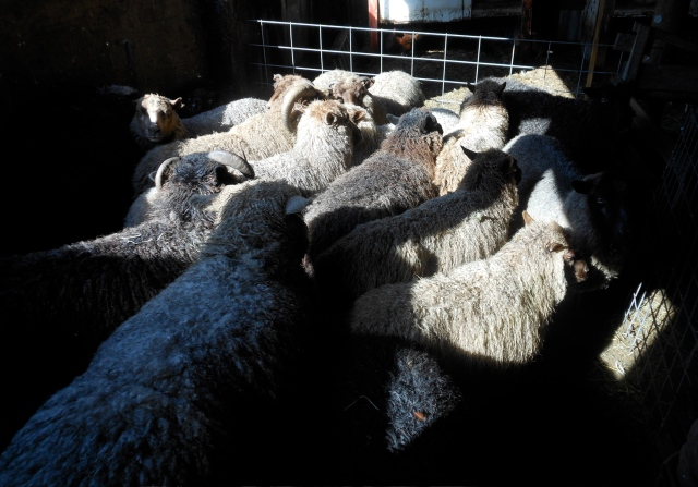 20 sheep