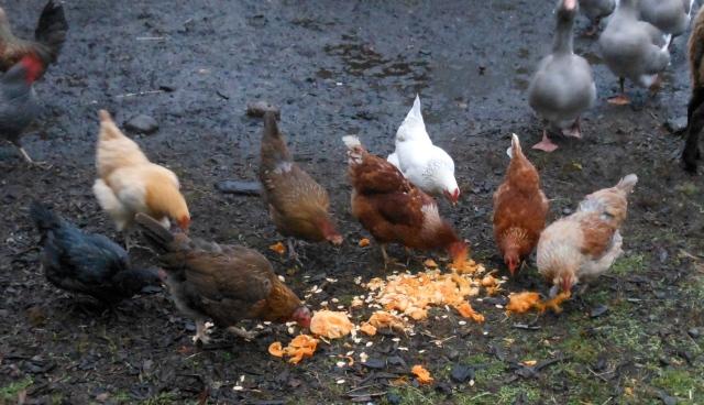 chickens and pumpkin innards