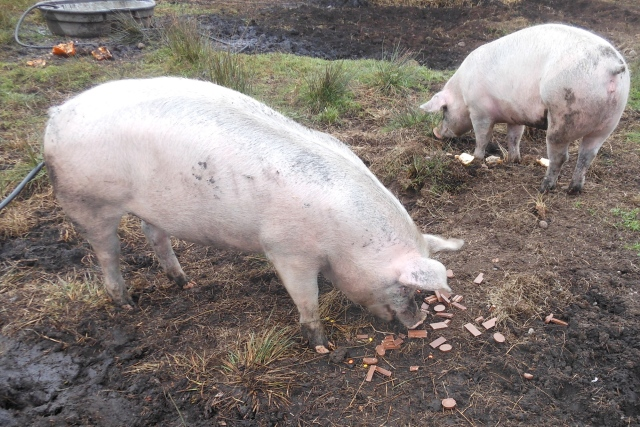 pigs with candy, cookies and bread