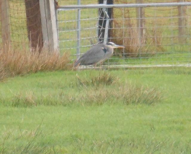 Thursday heron