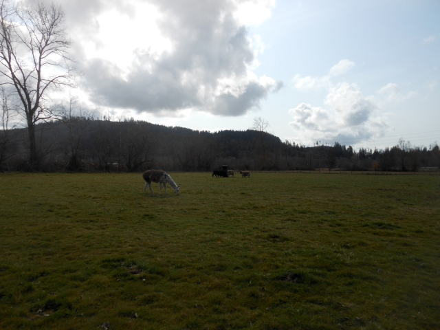 cows on new pasture