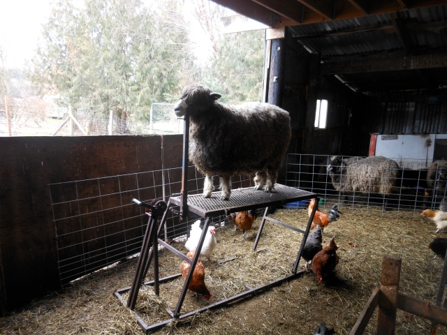 Dete, our fattest sheep, on the stand