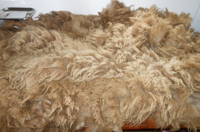 Wendel's fleece lovely color, primitive-style, moderate VM, some second cuts, lightly skirted, 5 1:2#, sell for $66 vs rug