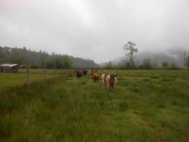 cows coming toward meJPG