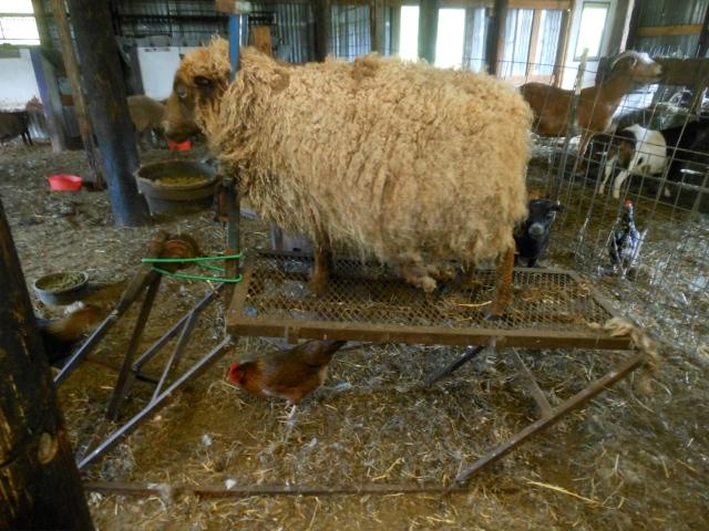 Heidi being sheared