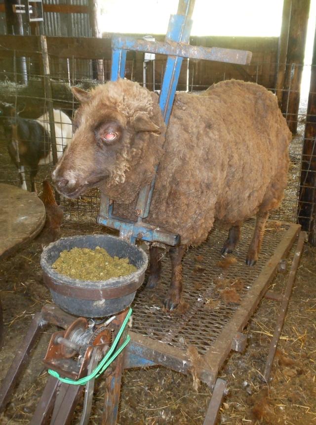 Heidi sheared