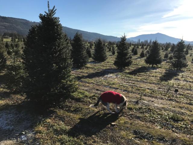 12 DEC Rocky at Christmas tree farm