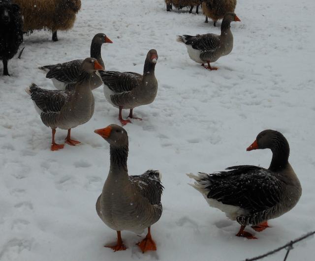 2 FEB geese in snow