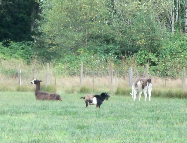llamas and buck bumble 092001
