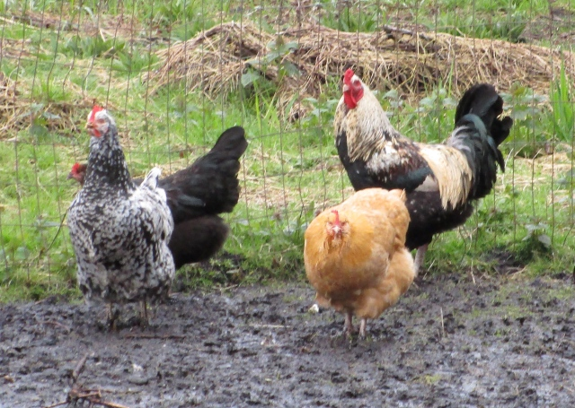 Rasa hens and rooster
