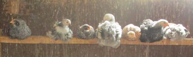 roosting chicks