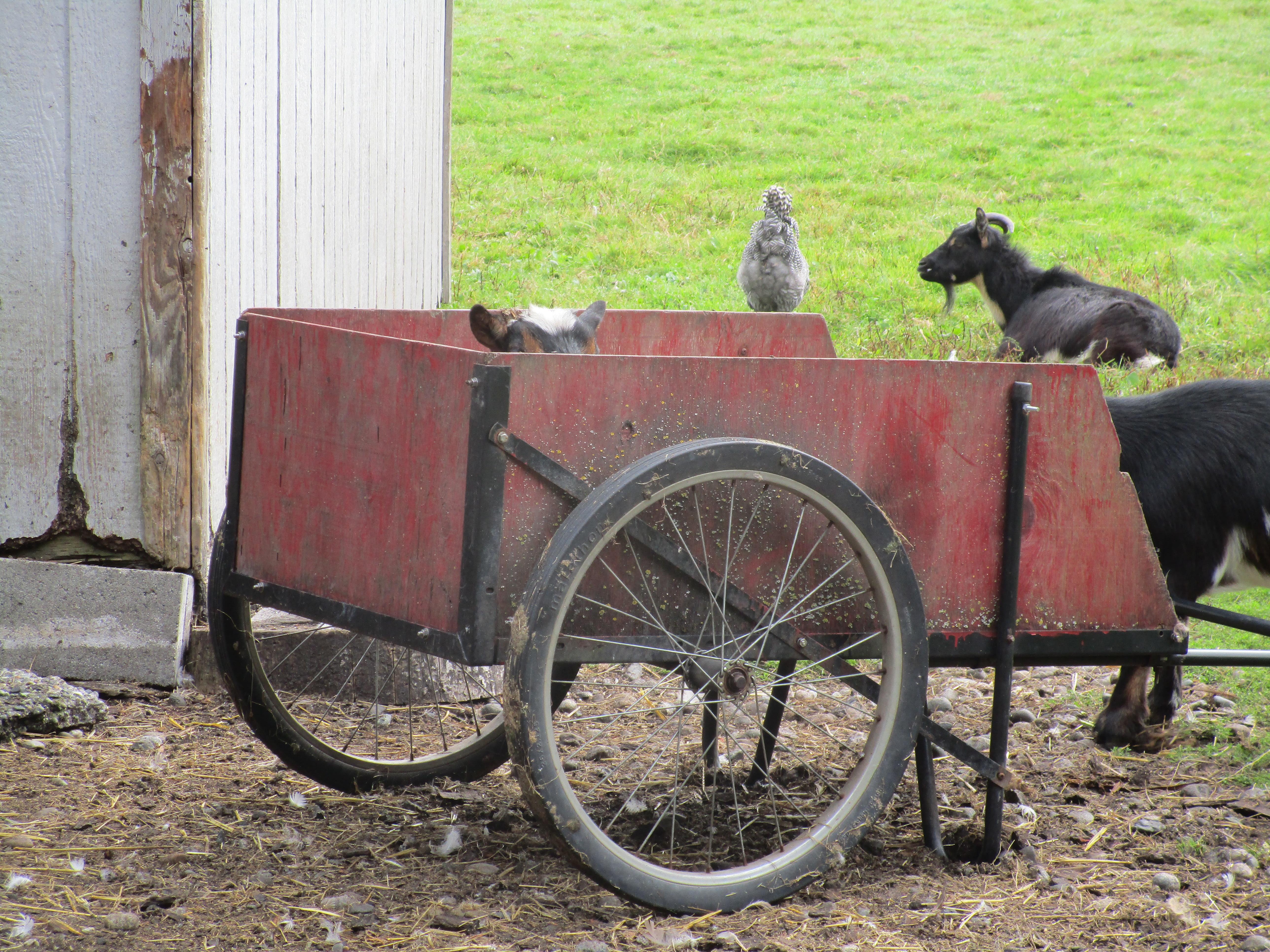 Magpie in cart