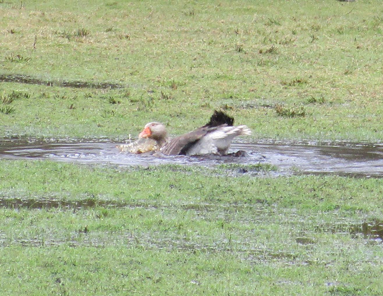 April1 animal goose bathing