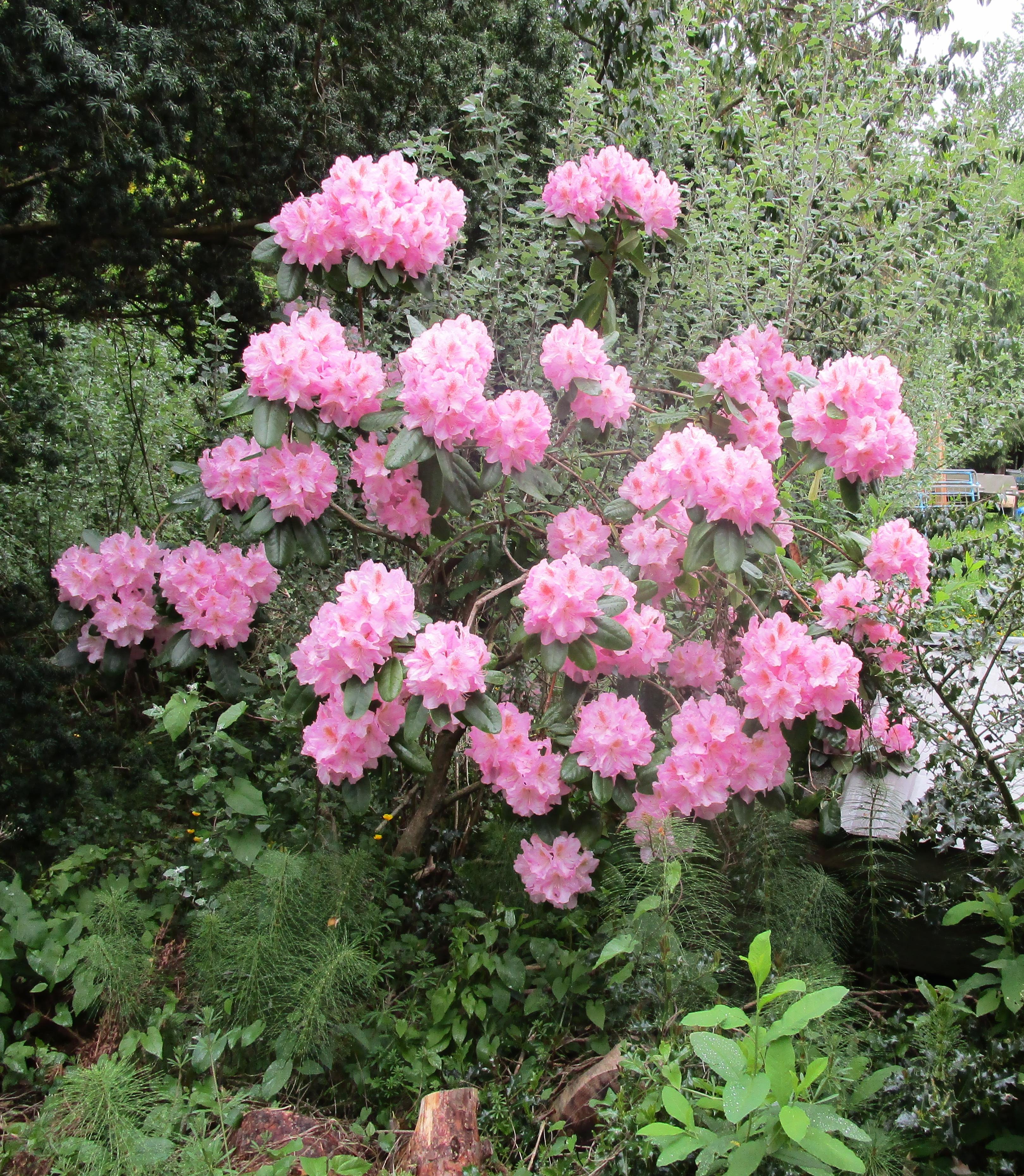May1 farm pink rhody