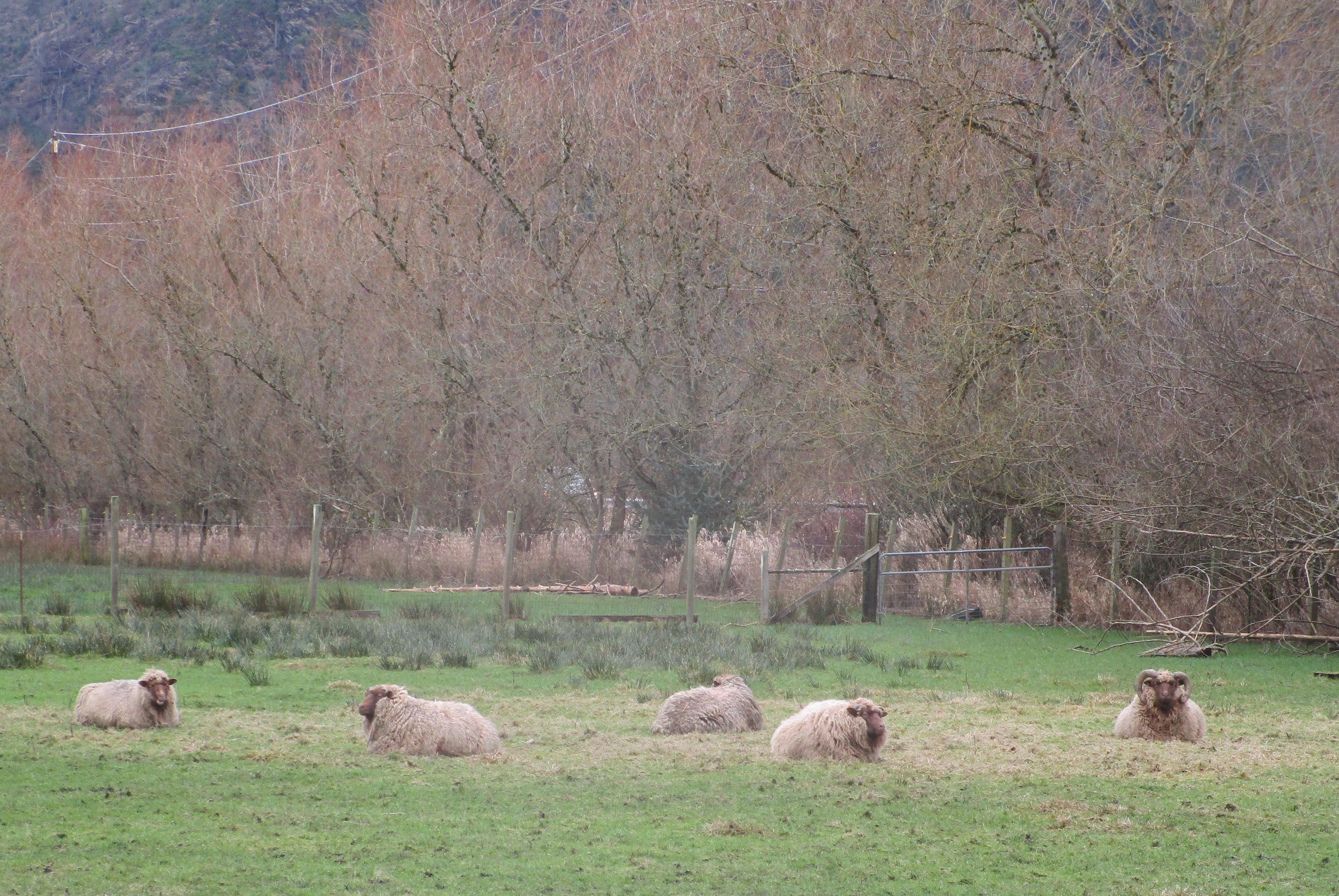 Mioget sheep