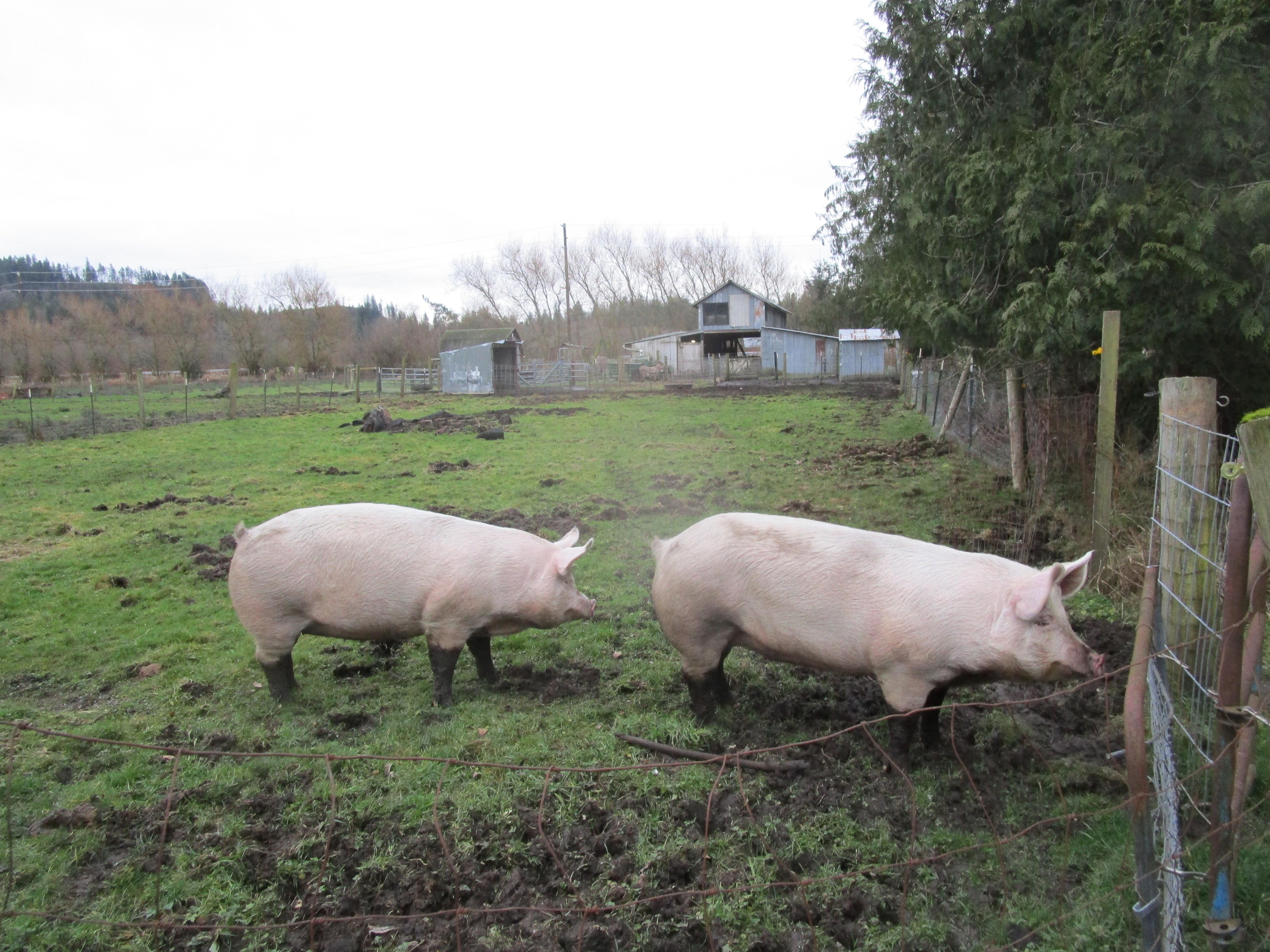 Petunia and Porky